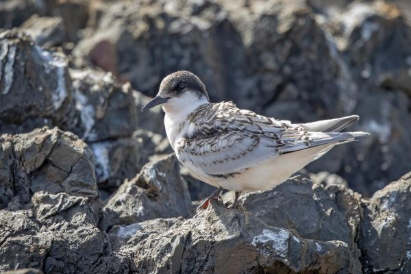 2019-02-24-white-fronted-tern-0001F2D427EA-9761-CE4C-8485-4CB83945EE55.jpg