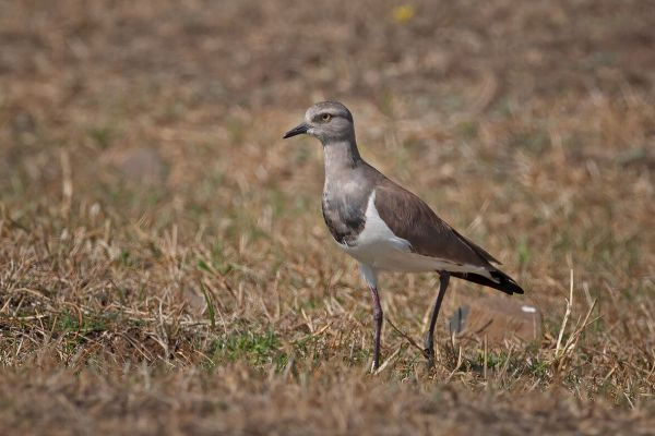 2010-01-10-black-winged-lapwing-007-19AA5CED8-BC63-110E-A678-F5692349AB2D.jpg