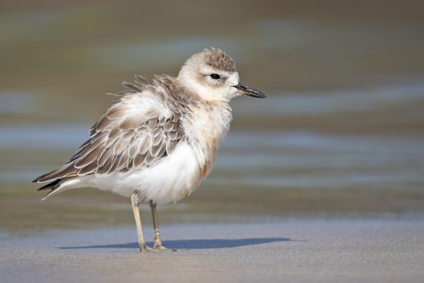 2019-02-24-new-zealand-plover-009321AAD077-2FF2-16C0-5D99-5BE389832BB2.jpg