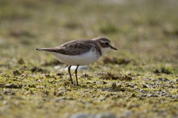 2019-03-08-double-banded-plover-0001F138B570-C976-FF3E-3954-B972D821055C.jpg