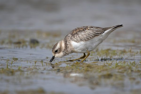 2019-03-08-double-banded-plover-0019AAECB76C-9B04-A70D-E341-6319C382A133.jpg