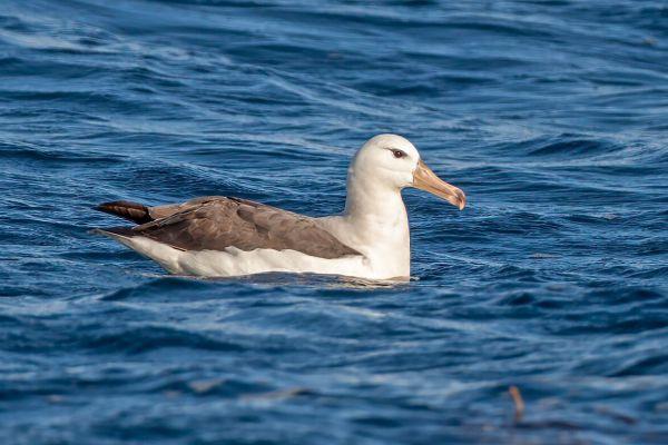 2011-03-25-black-browed-albatross-008A0F38367-EBD4-C0D8-A2BF-EC4C37B42BC0.jpg