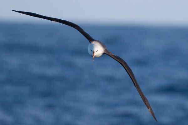 2011-03-27-black-browed-albatross-0295A7F03B8-6C48-F70B-E126-97D5A259638A.jpg