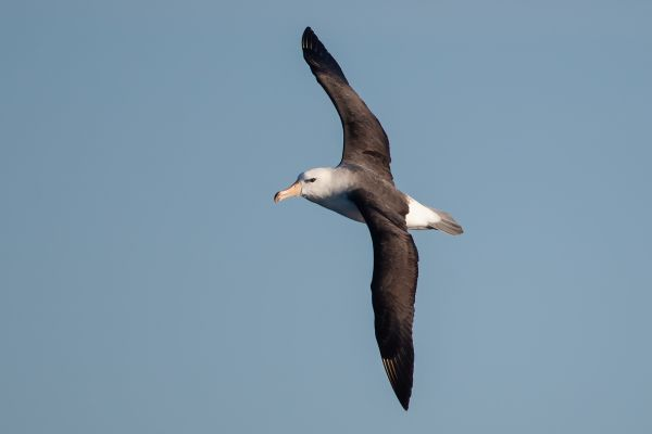 2011-03-27-black-browed-albatross-0617CC8DE1E-AC5C-5AD7-790A-4D40B8790249.jpg