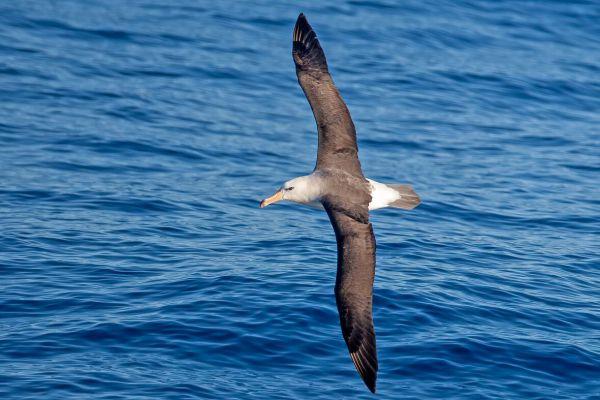 2011-03-27-black-browed-albatross-111FF5AAC9A-3DF7-AC29-9193-F4C57C2BAE53.jpg