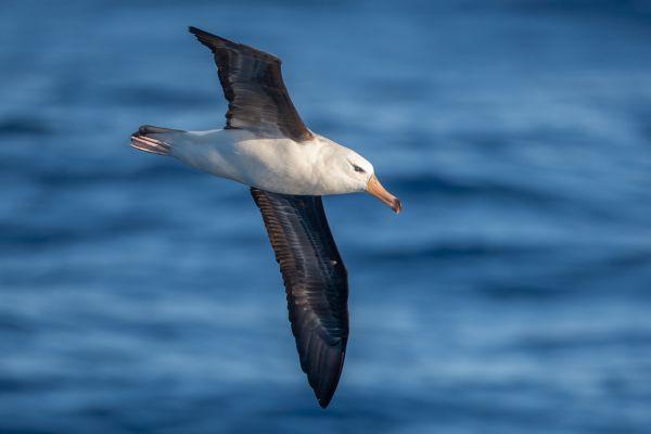 2011-03-27-black-browed-albatross-1187BA682A1-8A58-E314-14D8-C417D5CD8BE0.jpg