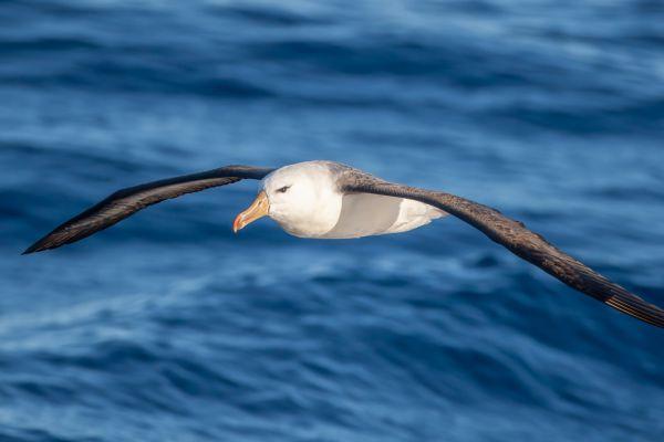 2011-03-27-black-browed-albatross-132951F0F79-E2EC-2783-1673-68877C7E3AAA.jpg