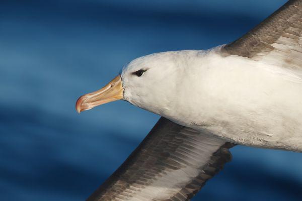 2011-03-27-black-browed-albatross-136-bewerkt40876DCA-F0F3-4487-B55D-313CC49A1BF9.jpg