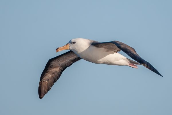 2011-03-27-black-browed-albatross-1759DD039FA-2D2D-29C6-B79D-CCF776746516.jpg