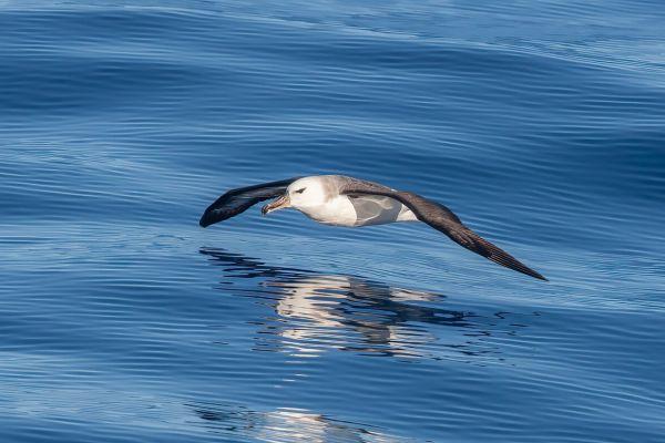 2011-03-27-black-browed-albatross-234A2634A8C-C848-9000-7973-E29E398AE373.jpg