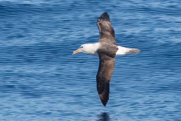 2011-03-27-black-browed-albatross-262CAF51CBA-0CDD-568A-C306-CF19B2D6B6F4.jpg