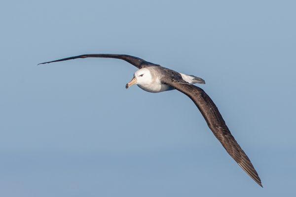 2011-03-27-black-browed-albatross-292D4EDD8B9-7EE9-447C-C49B-453F47FE9C61.jpg