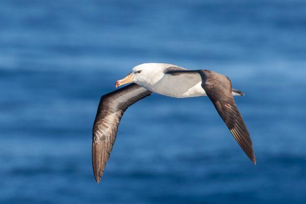 2011-03-27-black-browed-albatross-305D93D22DF-6D1A-A30F-B121-BAEB3A63CE7F.jpg