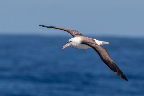 2011-03-27-black-browed-albatross-3513A22587D-808E-60CB-9220-4A6B7E832E66.jpg