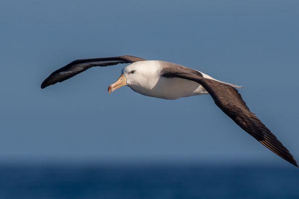 2011-03-27-black-browed-albatross-36218D6DBF7-FAA9-950E-5F86-5C81FBB126A8.jpg