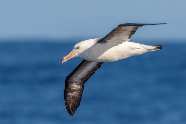 2011-03-27-black-browed-albatross-370AB5496E6-935D-42CE-A1BE-DDEA3A5E0066.jpg