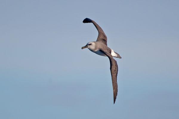 2011-03-27-grey-headed-albatross-001A4687525-3A0F-6D08-935C-C88A2EA5EA27.jpg