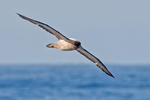 2011-03-27-light-mantled-albatross-031EEB51598-842D-6CAD-2332-49247C62E0D4.jpg
