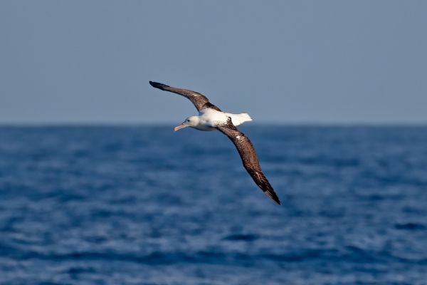2011-03-27-northern-royal-albatross-0003C7C3560D-2178-C3CE-E703-4CEE115E38BD.jpg