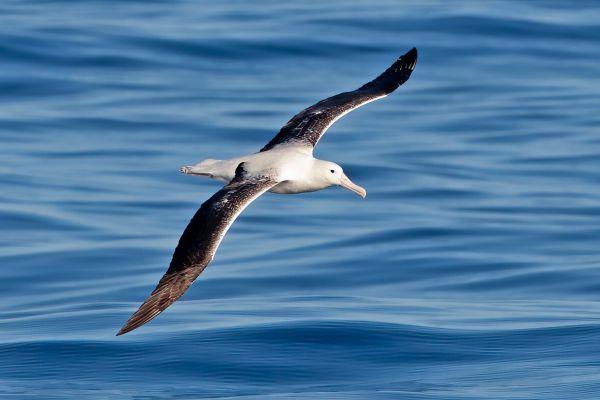 2011-03-27-northern-royal-albatross-0009-2DC5D7CE4-AA52-12BB-3181-88705A508D0E.jpg
