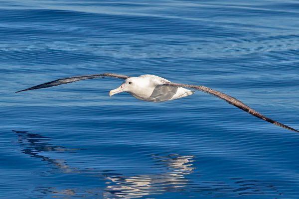 2011-03-27-northern-royal-albatross-0024-2E52DA7F1-EBEE-AD5D-A5A6-54A846838EEF.jpg