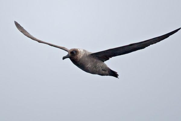 2011-04-01-light-mantled-albatross-002-1A8D7D8DF-4A65-A9F7-1D84-5FB9FA84E611.jpg