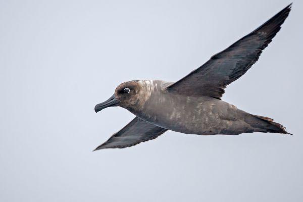 2011-04-01-light-mantled-albatross-014-17FCBF8F2-24CE-4F05-3A08-C2D77B9BBB69.jpg