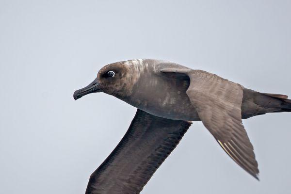 2011-04-01-light-mantled-albatross-015-17BEC956A-C5DF-0301-146F-B319D8BA8CE3.jpg