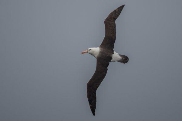 2011-04-02-black-browed-albatross-0011E345B52-E000-31E3-A1FD-87070A7B62C4.jpg
