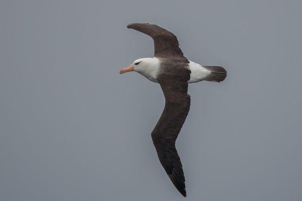 2011-04-02-black-browed-albatross-0052528A00E-4B99-004F-4C3C-F2928053A41E.jpg