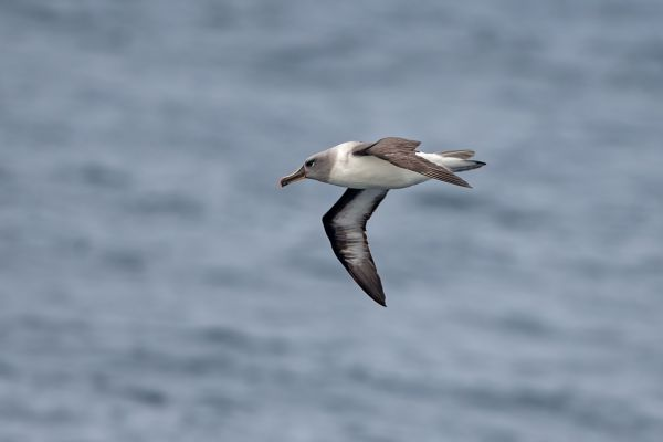 2011-04-02-grey-headed-albatross-002B1CB9802-2865-A853-2917-969EC6E1AC67.jpg