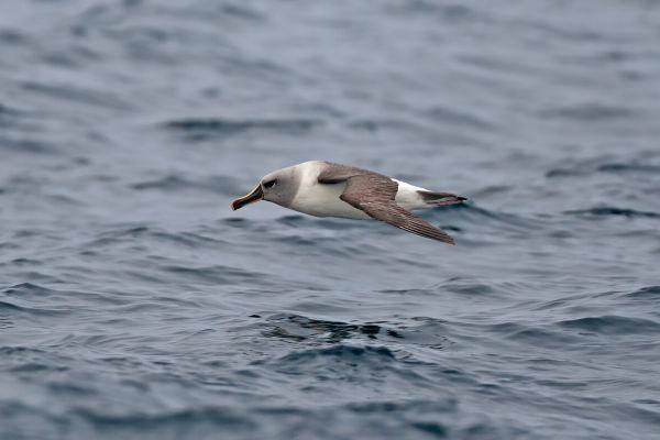 2011-04-02-grey-headed-albatross-01643665C55-46FA-937A-4C78-9B7D1AEC6DF6.jpg