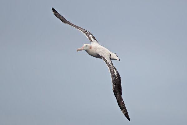 2011-04-02-wandering-albatross-082010B20B3-ADA0-9073-1746-95DA4C2DE012.jpg