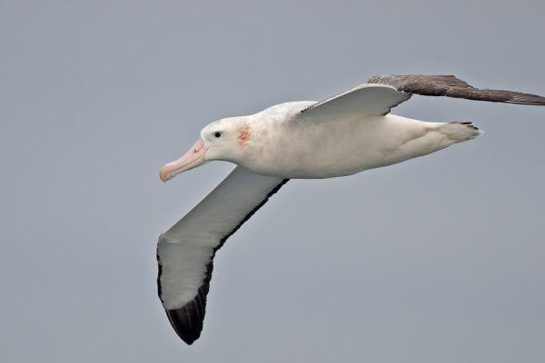 2011-04-02-wandering-albatross-101D3CC711C-E015-AB83-9884-C2328B8EF939.jpg