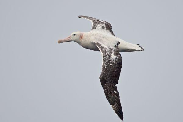2011-04-02-wandering-albatross-11282E2E6B5-AB71-270F-08A7-3513138E34EB.jpg