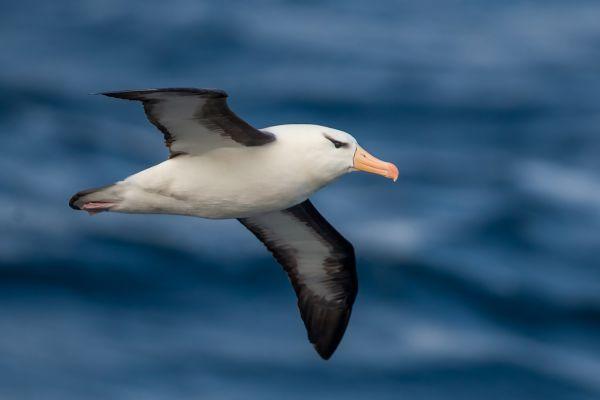 2011-04-03-black-browed-albatross-0284DE97887-9A80-7655-BD0F-65512007674E.jpg