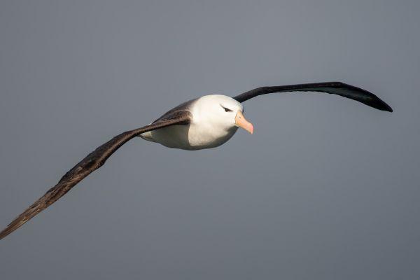 2011-04-03-black-browed-albatross-0487230CB6E-09AA-4914-FE01-99F171D0BD83.jpg