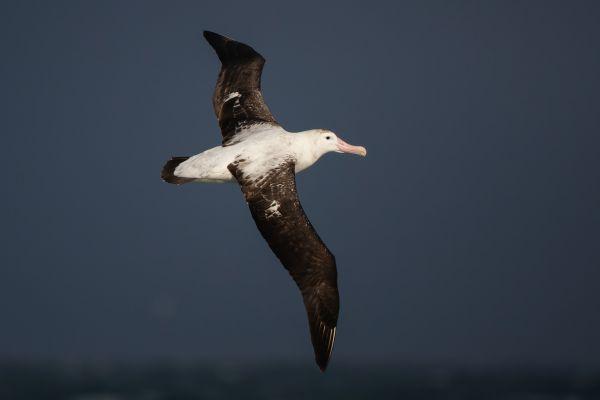 2011-04-03-wandering-albatross-039F75D9822-9380-545C-BC7A-2BC7E4FC4AE3.jpg