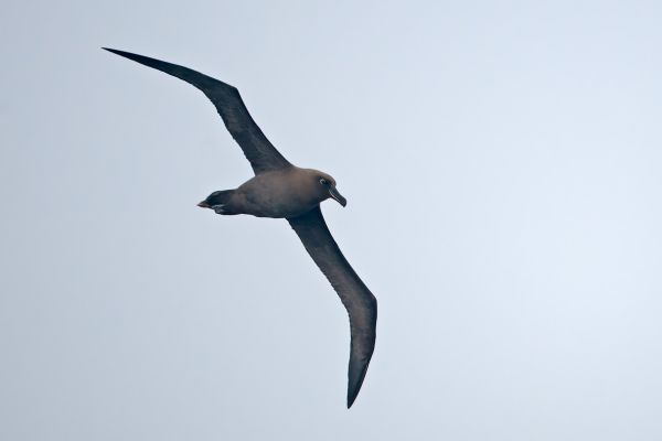 2011-04-06-sooty-albatross-076F26FFCBF-6492-C3F1-2152-B3138182941B.jpg