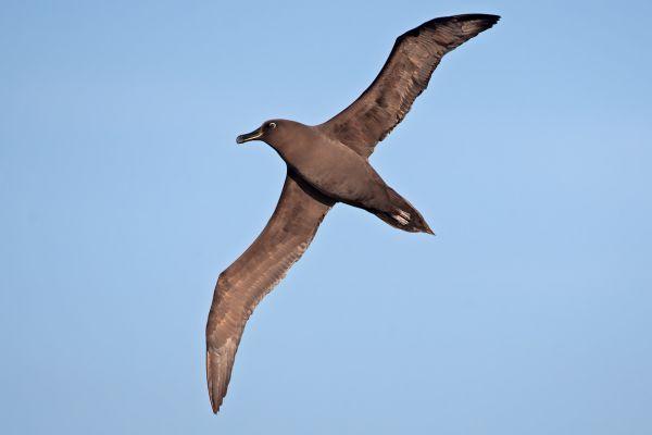 2011-04-07-sooty-albatross-056A5E4BCF9-C3A3-0E4C-C61F-780E32F746DF.jpg