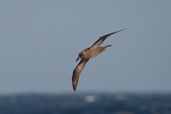 2011-04-07-sooty-albatross-17286459ACC-9893-C579-48F7-B70E0D204709.jpg