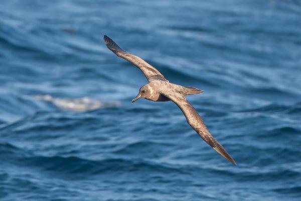 2011-04-07-sooty-albatross-1923F81937F-150E-B19B-09CC-2FE0C71460A9.jpg
