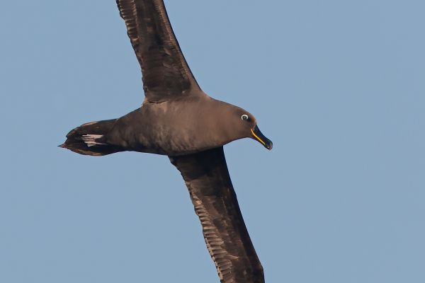2011-04-07-sooty-albatross-2055F8FAA9B-6401-7062-7BC7-3A263634BB28.jpg
