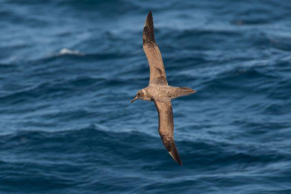 2011-04-07-sooty-albatross-2597987FF23-DC60-CD86-F425-FEEB709A054E.jpg