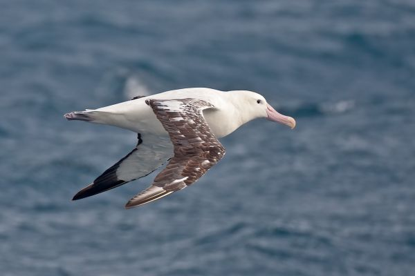 2011-04-09-tristan-albatross-0111B4D8C35-0E98-FA16-7FA7-D772235E89C9.jpg