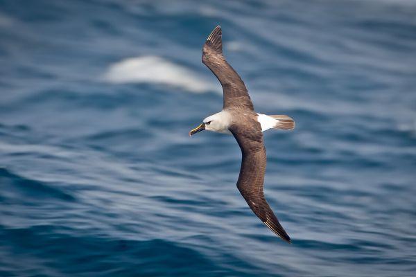2011-04-10-atlantic-yellow-nosed-albatross-022D26FBCE5-FF9D-2A46-1090-EC55E5D217CD.jpg