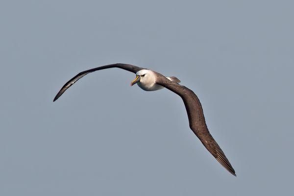 2011-04-10-atlantic-yellow-nosed-albatross-0330243C1C9-1554-251F-02DF-12F6E3EF53AB.jpg