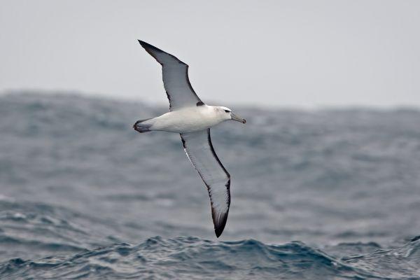2011-04-10-salvin-s-albatross-002A2A5EB66-6E78-9EA4-34D9-4ED6D16C1453.jpg