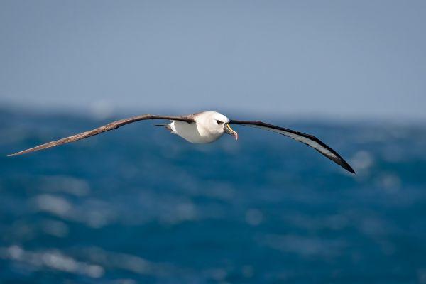 2011-04-11-atlantic-yellow-nosed-albatross-03080698D66-EE4F-DE02-AEDC-712C2A626D40.jpg