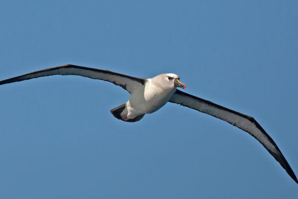 2011-04-11-atlantic-yellow-nosed-albatross-0379D73D807-7416-D2E0-8A8C-4D0EE6C24F86.jpg